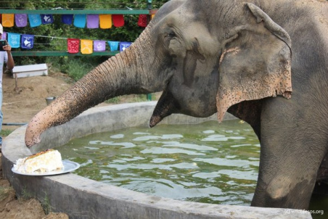 Слон Раджу - первый год свободы!