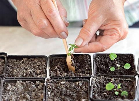 Выращиваем землянику семенами