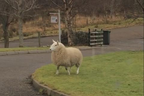 Забавная овца, которая счита…