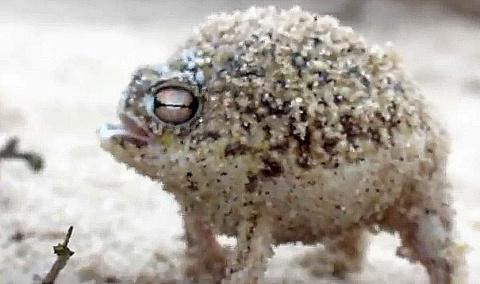 Прикольная мяукающая лягушка - видео