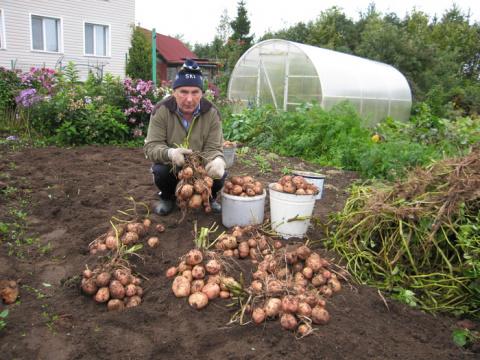 С каждого куста картофеля - …
