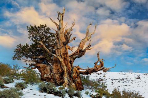 Живое чудо. Деревья долгожители