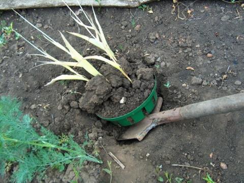 Июнь: срочно выкапываем луковицы тюльпанов