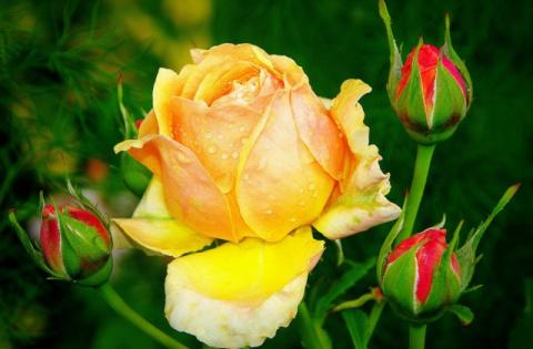 Пять ошибок при выращивании роз