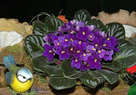 Сенполия, узамбарская фиалка…