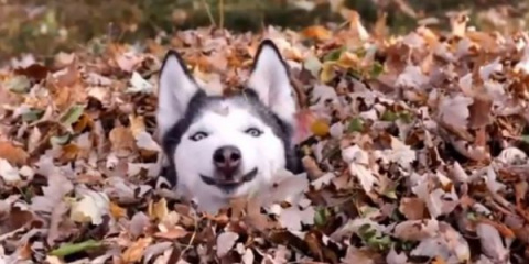 Пес показывает, как радоваться осенним листьям