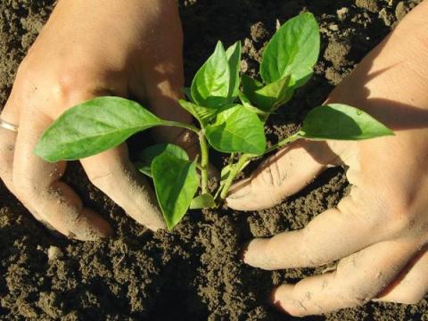 Когда высаживать овощную рас…