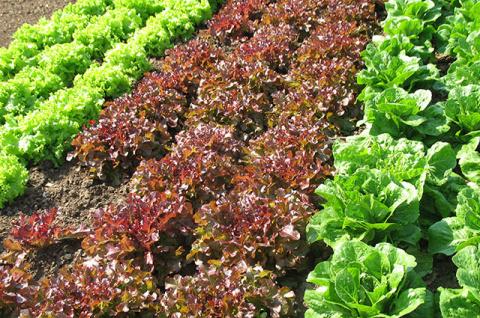 Забава гурмана. Как вырастить салат-латук