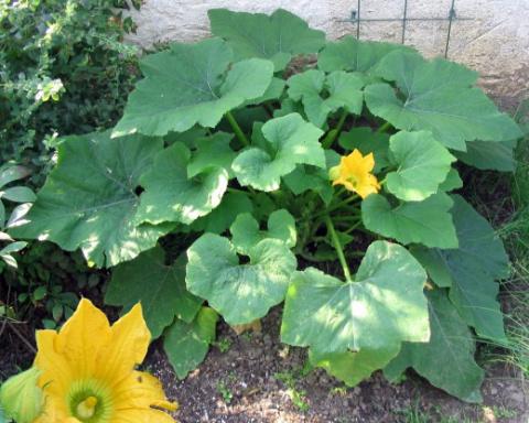 Интересная технология выращивания кабачков,патиссонов,тыквы