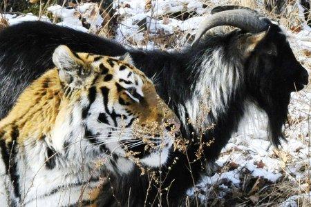 Тигру Амуру и козлу Тимуру п…