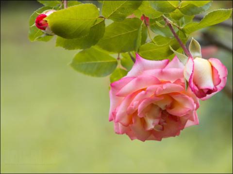 Поможем нашим розам подготовиться к морозам: 5 важных мероприятий на август