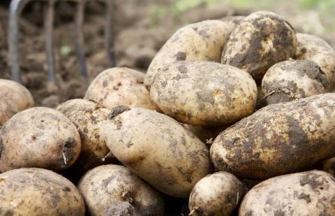Картофель: тонна клубней с одной сотки. Авторская технология дачника из Сибири.