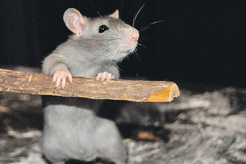 Плюсы и минусы различных способов избавления от мышей