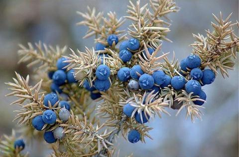 Все ли ягоды можжевельников съедобны
