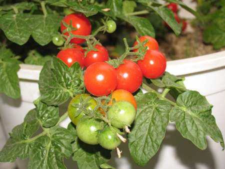 Вырастить свои овощи к Новому году реально