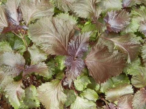 Перилла - пряность со вкусом карамели и ароматом аниса