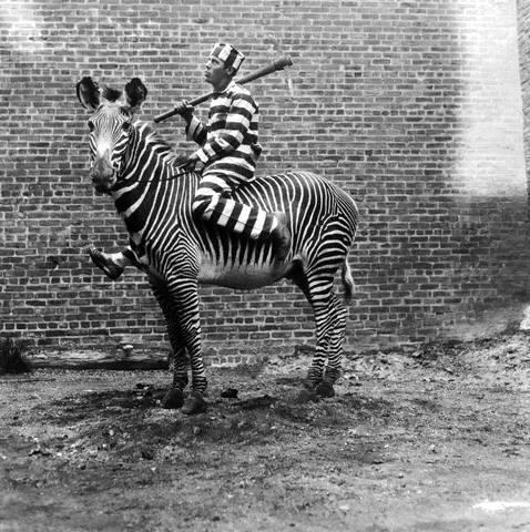 Как приручить зебру: историческое руководство