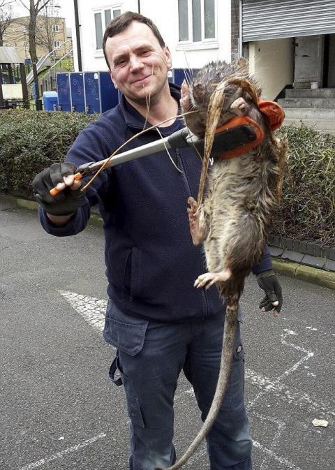 В Великобритании нашли самую крупную в стране крысу