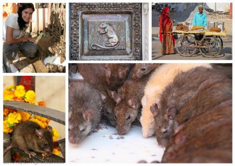 Индийский храм крыс Шри Карни Мата. Нервным смотреть не рекомендуется