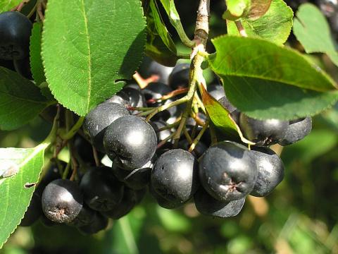 Черноплодная рябина в народной медицине