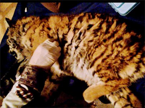 В Приморье спасли тигренка, которого чуть не загрызли собаки