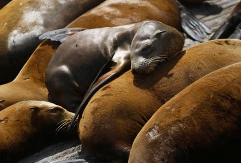 Голодающие морские львы нуждаются в помощи
