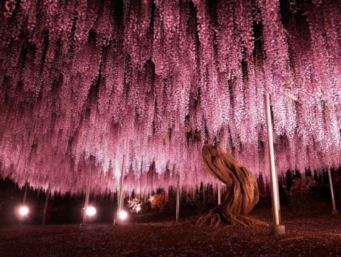 В волшебном царстве глицинии: 20 фотографий из Цветочного парка Асикага