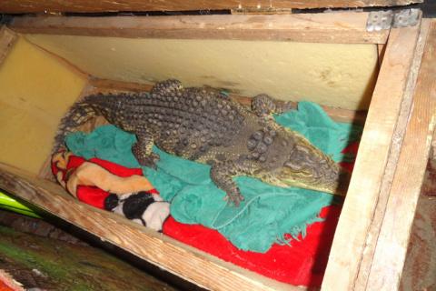 На алтайской границе задержали змею и крокодила с паспортами кошки и собаки
