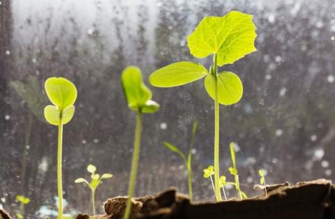 Как вырастить огурцы на окне без дополнительного освещения