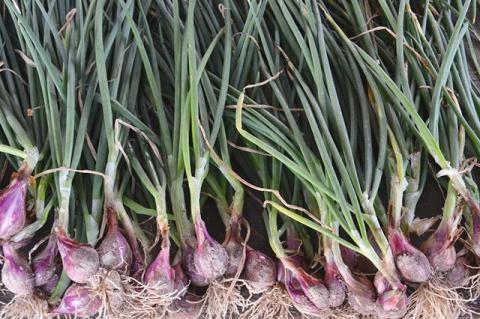 Вершки и корешки. Советы по выращиванию семейного лука и черемши