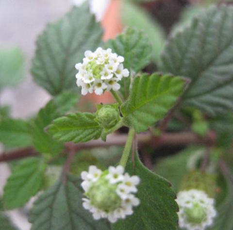Липпия: сладкая трава ацтеков