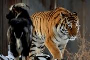 Отношения тигра Амура и козл…