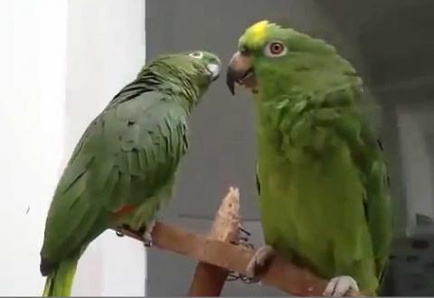 Дуэт поющих попугаев