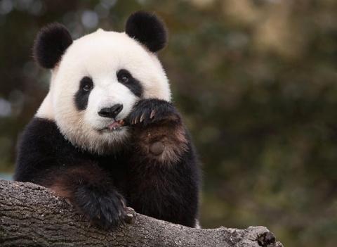 Очаровательные панды в фотографиях