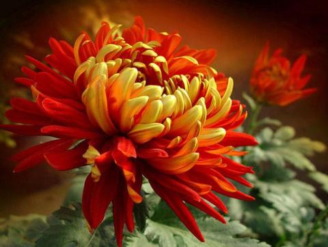 Царица осени - хризантема