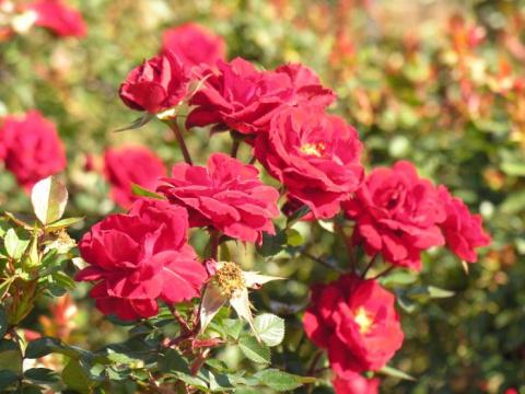 Как купить подходящий сорт садовой розы