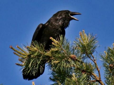 Ворона просто сидела на ветк…
