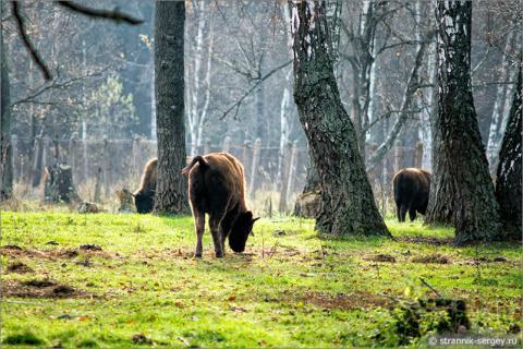Красавцы зубры в осеннем лесу