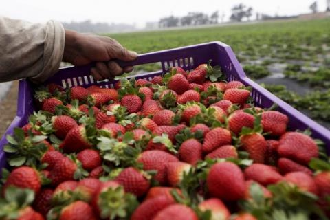 Как выращивают клубнику в Перу
