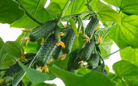 Суперпучковые огурцы – чем они хороши и какие семена выбрать