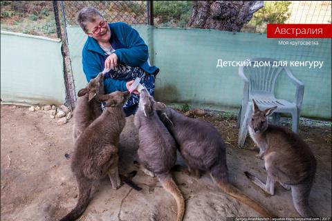 Приют для детенышей кенгуру …