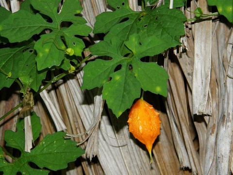Момордика харанция: индийский огурец со вкусом хурмы