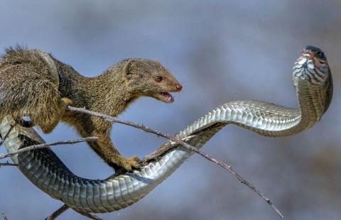 У мангуста на обед была ядовитая змея