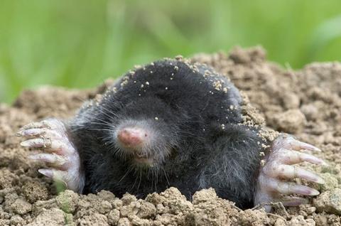 Прочь, кроты! Как избавиться от землекопов на своём участке?
