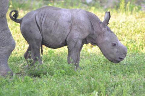 Новорожденный носорог в зооп…