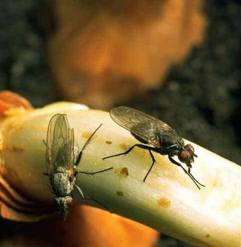 Обойдемся без луковой мухи