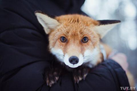 У парня из Гомеля живет рыжая домашняя лиса