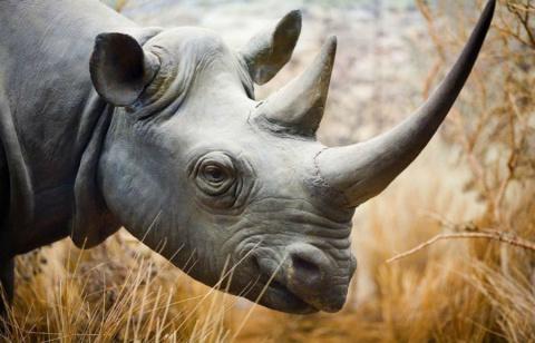 10 видов животных и растений на грани исчезновения из-за мифов про афродизиаки