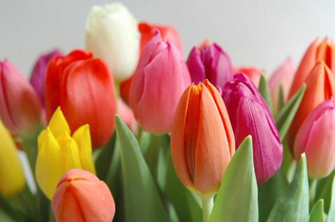 Сад, цветник и огород.   Цветут тюльпаны круглый год