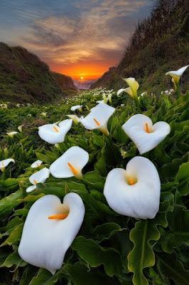 Цветы каллы в калифорнийской…